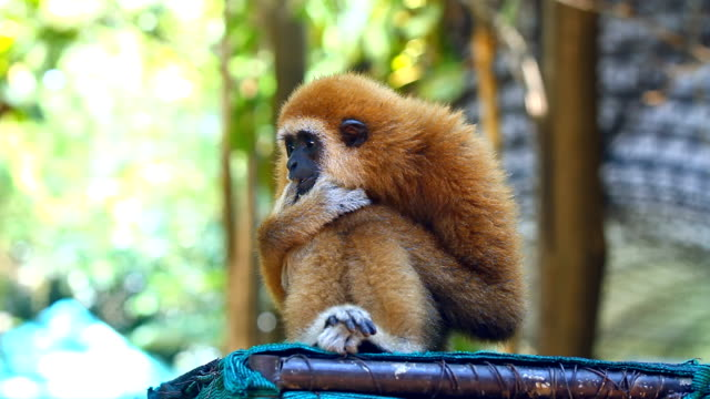 Gibbon monkey video