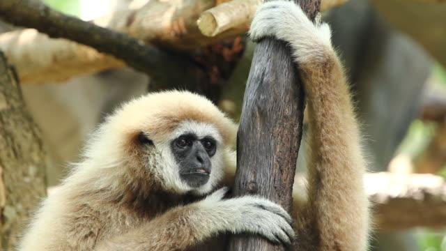 hd: gibbon на дерево - гиббон стоковые видео и кадры b-roll