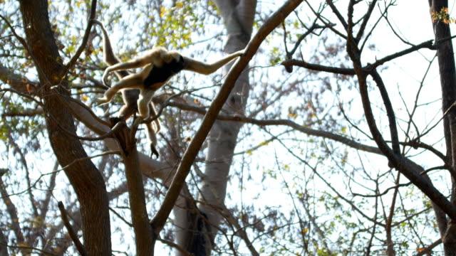 gibbon on tree - gibbone video stock e b–roll