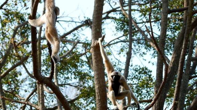 gibbon on tree - primate video stock e b–roll