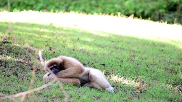 gibbon sleeping on the grass. - gibbon människoapa bildbanksvideor och videomaterial från bakom kulisserna