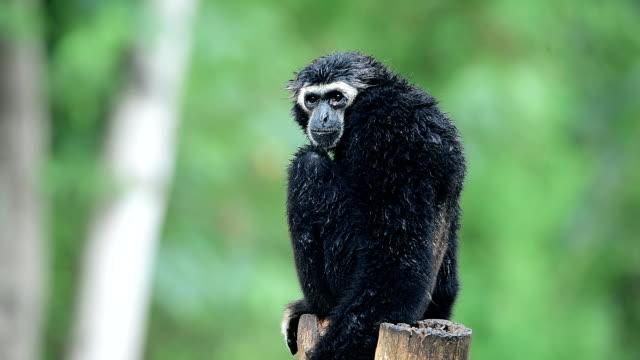 gibbon - gibbone video stock e b–roll