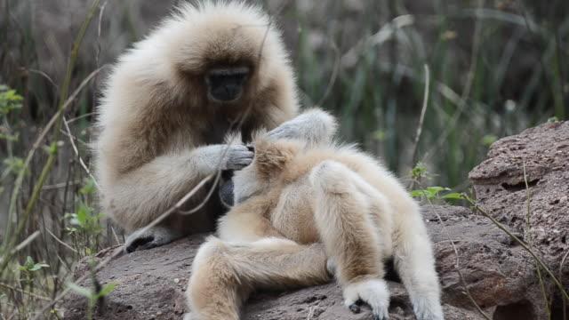 Gibbon video