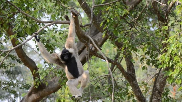 gibbone - gibbone video stock e b–roll