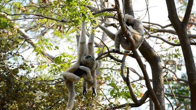 gibbon - gibbon människoapa bildbanksvideor och videomaterial från bakom kulisserna