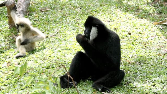 gibbone. - gibbone video stock e b–roll