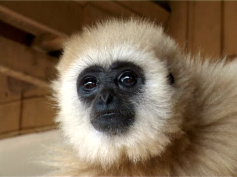 gibbon  - aquarium oder zoo stock-videos und b-roll-filmmaterial