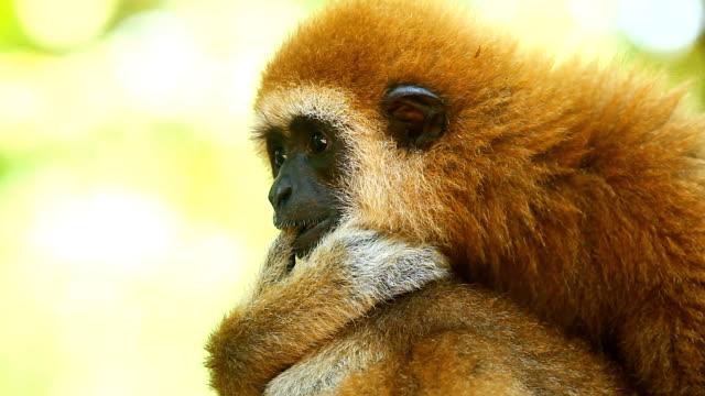 gibbon - großwild stock-videos und b-roll-filmmaterial