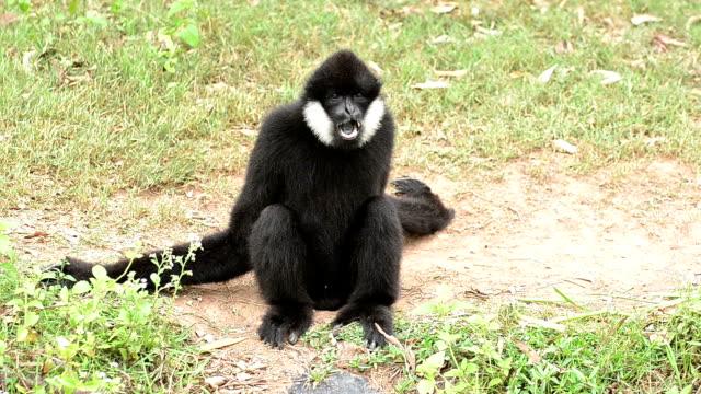 Gibbon – Video