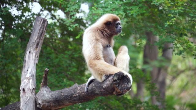 Gibbon yawning on tree - Stock video Gibbon yawning on tree - Stock video mouth open stock videos & royalty-free footage