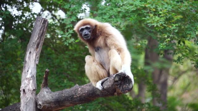 hd gibbon yawning - stock video - gibbon människoapa bildbanksvideor och videomaterial från bakom kulisserna
