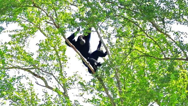 gibbons on tree - gibbon människoapa bildbanksvideor och videomaterial från bakom kulisserna