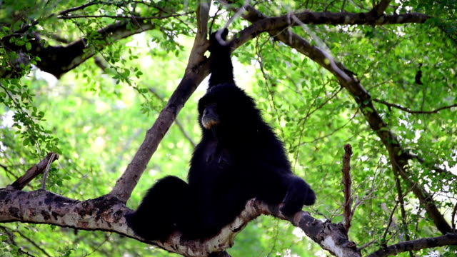 Gibbons on Tree video