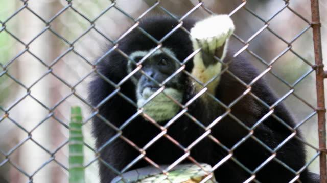 Gibbons video