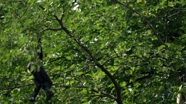 gibon bialobrody or White-Cheeked Gibbon hanging on tree video