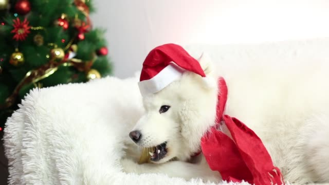 A gift for a dog for Christmas. video