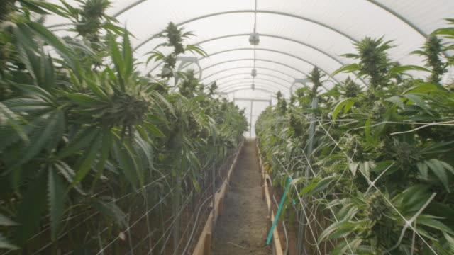 Gimbal Shot of a Commercial Marijuana Grow Operation video