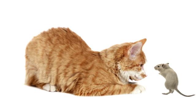 рыжая кошка и хомяк - сбежавший из дома стоковые видео и кадры b-roll