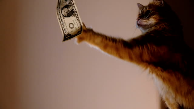 Ginger cat catches dollar, desire for wealth Ginger domestic cat catches dollar by paw. catching stock videos & royalty-free footage