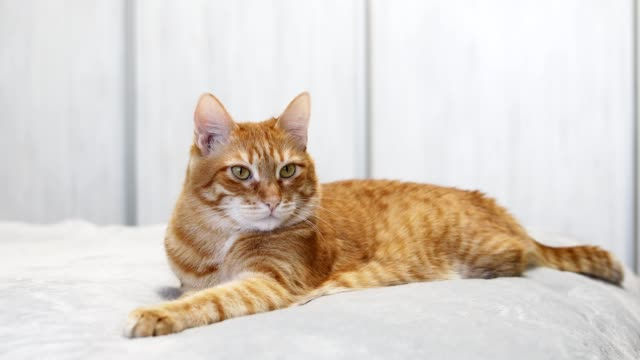 Ginger cat lying on a bed and looking straight ahead directly into the camera against white blurred background.