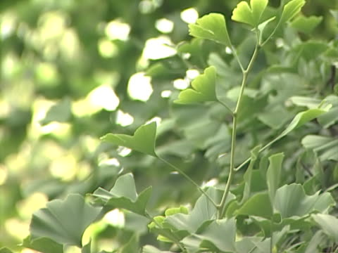 ginkgo 3 - 銀杏樹 個影片檔及 b 捲影像