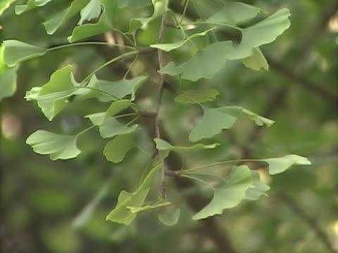 ginkgo 4 - 銀杏樹 個影片檔及 b 捲影像
