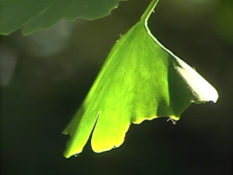 ginkgo 6 - 銀杏樹 個影片檔及 b 捲影像