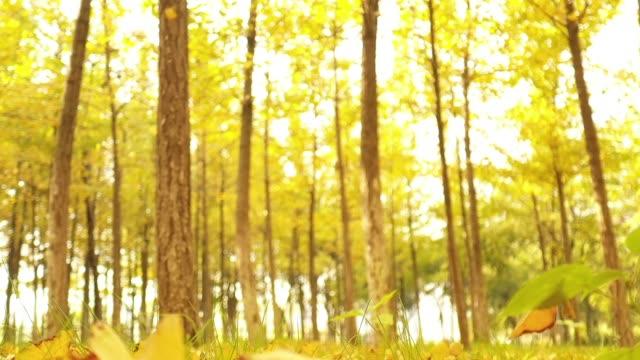 銀杏林 - 銀杏樹 個影片檔及 b 捲影像