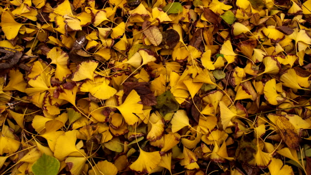 ginkgo leaves falling ginkgo leaves falling time lapse in the fall ginkgo tree stock videos & royalty-free footage