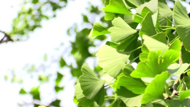 ginkgo leaves in forest in the sunlight - 銀杏樹 個影片檔及 b 捲影像