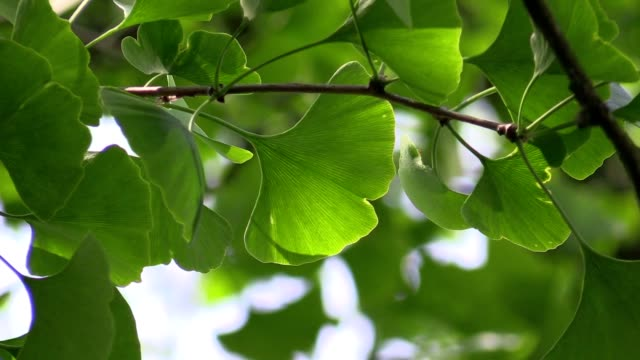 Ginkgo leaves in the forest Ginkgo leaves in the forest in the sunlight ginkgo tree stock videos & royalty-free footage