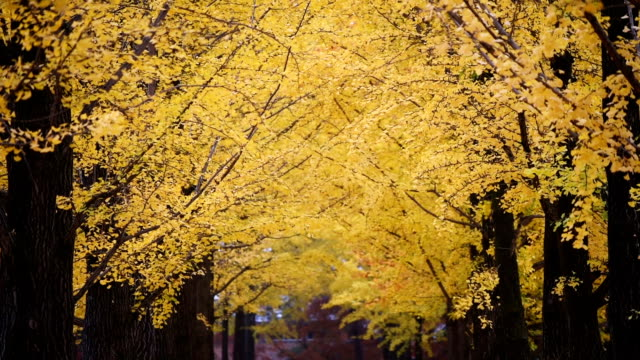 Ginkgo tree Autumn city park. Beautiful background Ginkgo tree Autumn city park. Beautiful background ginkgo tree stock videos & royalty-free footage