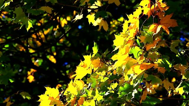 ginkgo tree branch in autumn - 銀杏樹 個影片檔及 b 捲影像