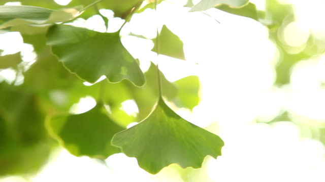 ginkgo tree light ginkgo tree light ginkgo tree stock videos & royalty-free footage