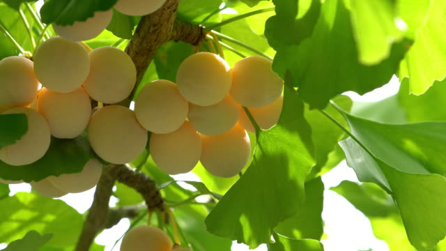 Ginkgo tree with Ginkgo nuts Tokyo,Japan-September 11, 2017: Ginkgo nuts have become big, but still immature. ginkgo tree stock videos & royalty-free footage