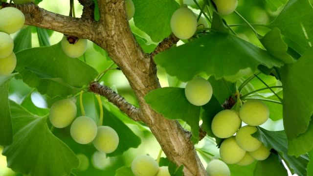 Ginkgo tree with Ginkgo nuts Tokyo,Japan-June 17,2018: Ginkgo nuts have become bigger, but still green and immature. ginkgo stock videos & royalty-free footage
