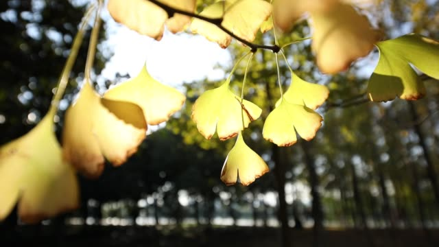 Ginkgo Ginkgo ginkgo tree stock videos & royalty-free footage