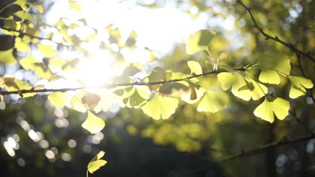 銀杏 - 銀杏樹 個影片檔及 b 捲影像