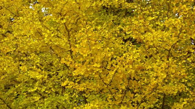 銀杏葉和樹 - 銀杏樹 個影片檔及 b 捲影像