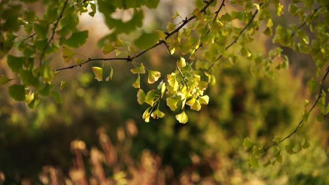 銀子葉和樹枝在模糊的自然背景 - 銀杏樹 個影片檔及 b 捲影像