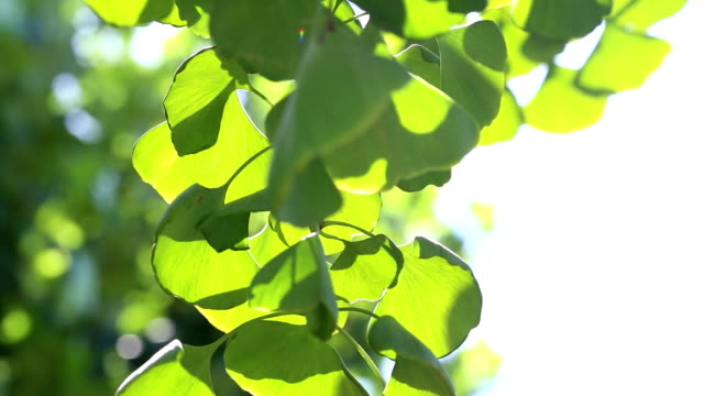Ginko leaves in a sunny day. Ginko tree, Nature, Shiny, Background ginkgo tree stock videos & royalty-free footage