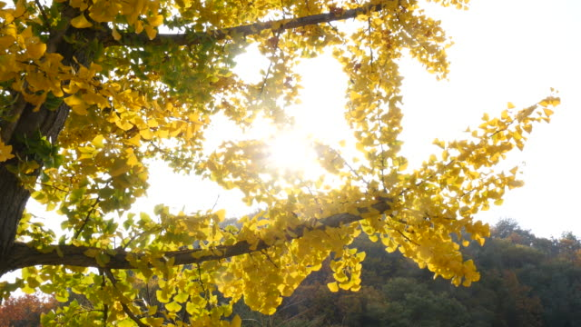 Ginko tree at the sun Ginko tree at the sun ginkgo tree stock videos & royalty-free footage