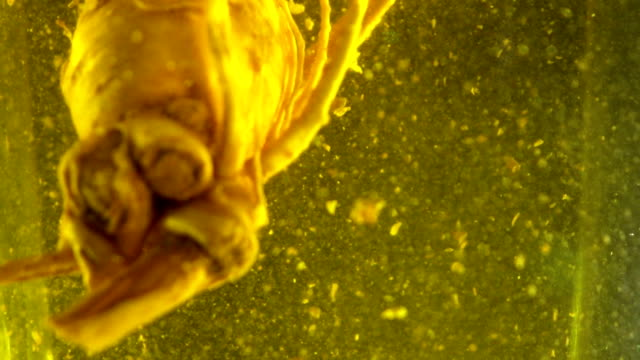 Ginseng root in whiskey and honey bee,Slow motion video