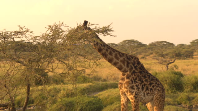 CLOSE UP: Giraffe accompanied by oxpeckers browsing on foliage on sunny morning CLOSE UP: Cute male giraffe feeding, grazing green leaves on prickly tree canopy at amazing golden light sunny morning. Birds called red-billed oxpackers sit on giraffa's coat eating insects, ticks tanzania stock videos & royalty-free footage