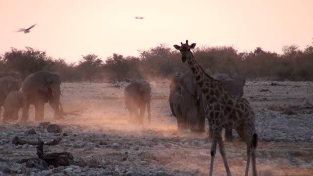Giraffe and elephants video