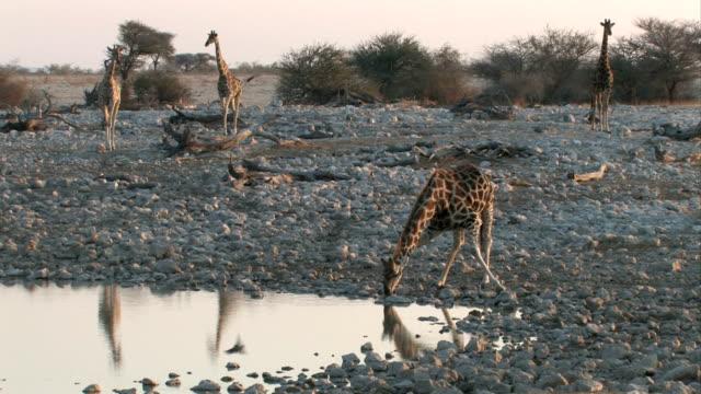 vidéos et rushes de girafe boissons - plan d'eau