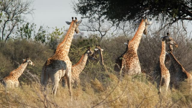 giraffe family - wildlife travel stock videos and b-roll footage