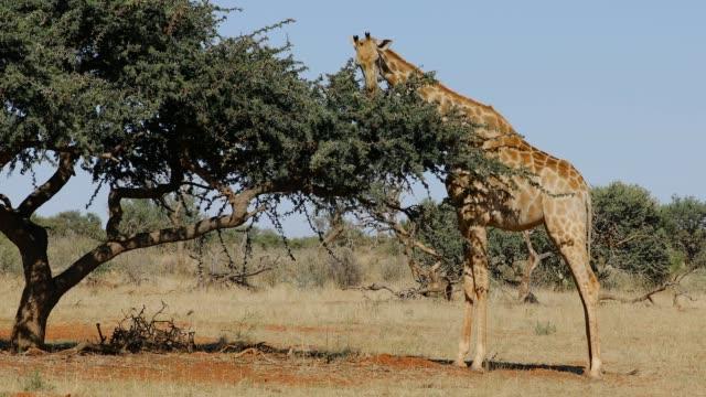 A giraffe (Giraffa camelopardalis) feeding on a tree, South Africa