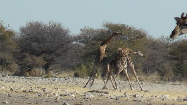 giraffa lotta - lottare video stock e b–roll