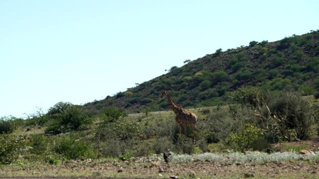 Giraffe herd in the wild. video